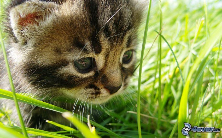 gattino, l'erba