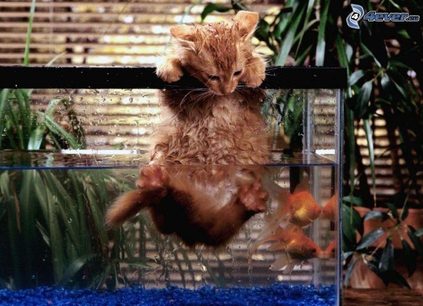 gattino, pesce, acquario