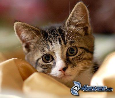 gattino, testa di gatto