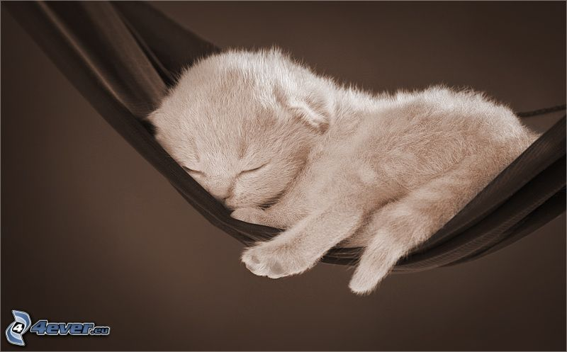 gattino addormentato, amaca, riposo