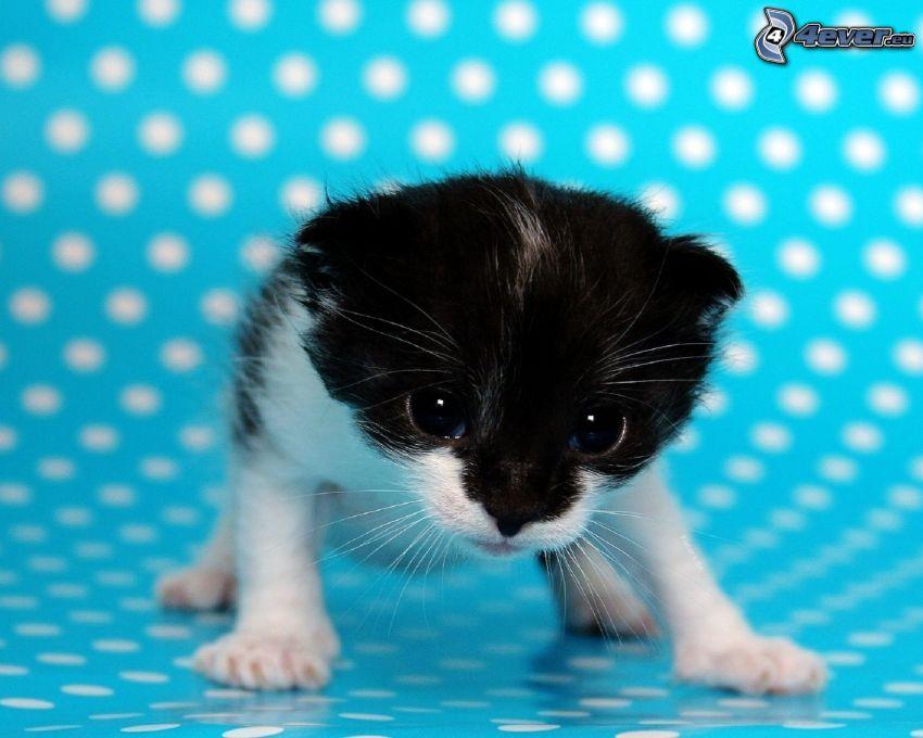 gattino bianco e nero, cerchi