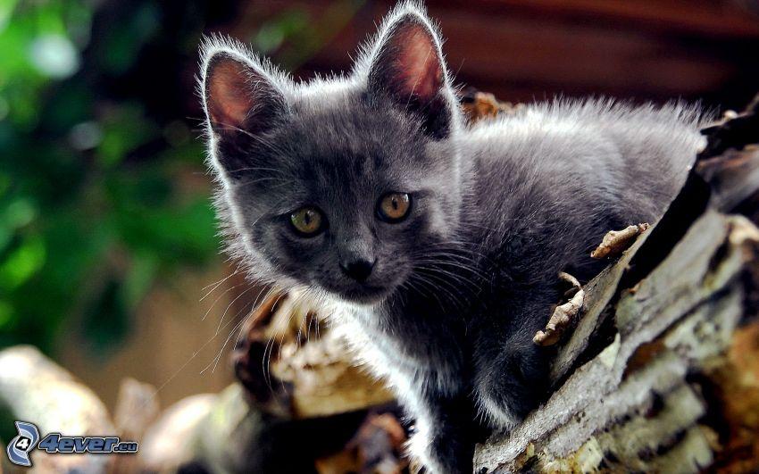 gattino grigio, british shorthair