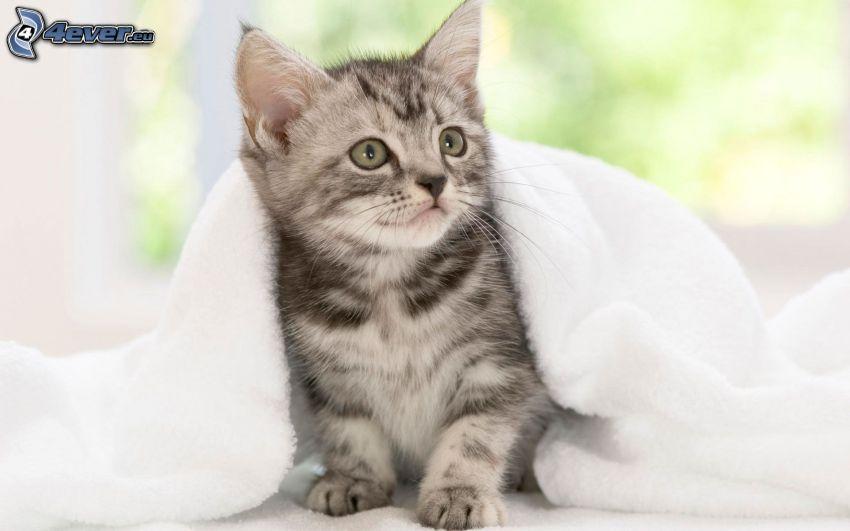 gattino grigio, gatto sotto una coperta