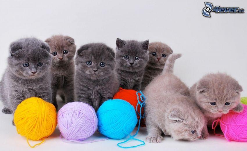 gattino grigio, gomitoli, lana, british shorthair