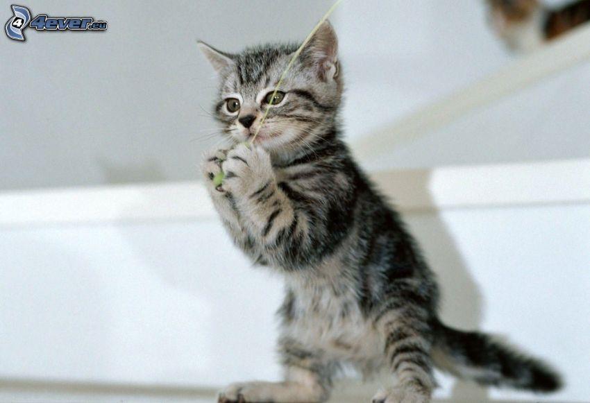 gattino grigio, gomitolo