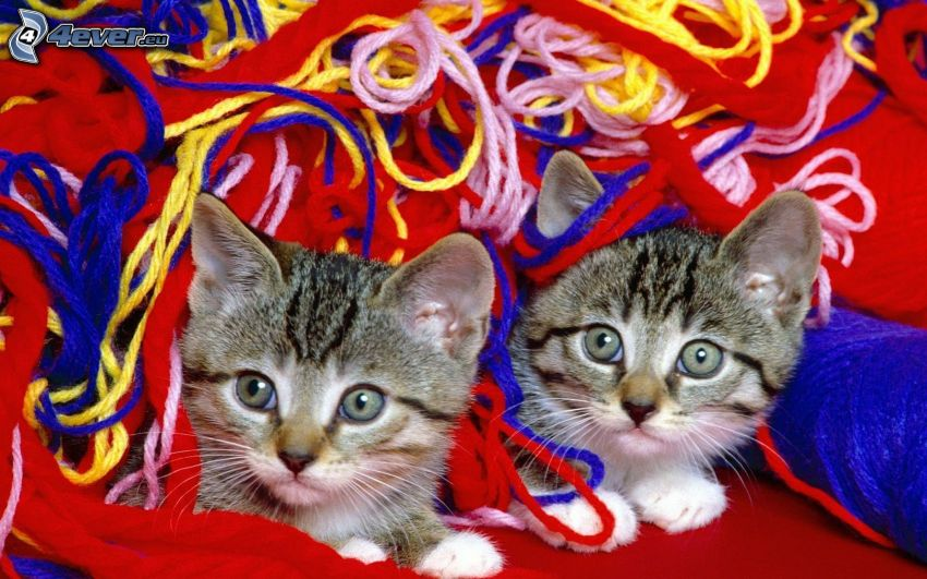 gattino grigio, lana