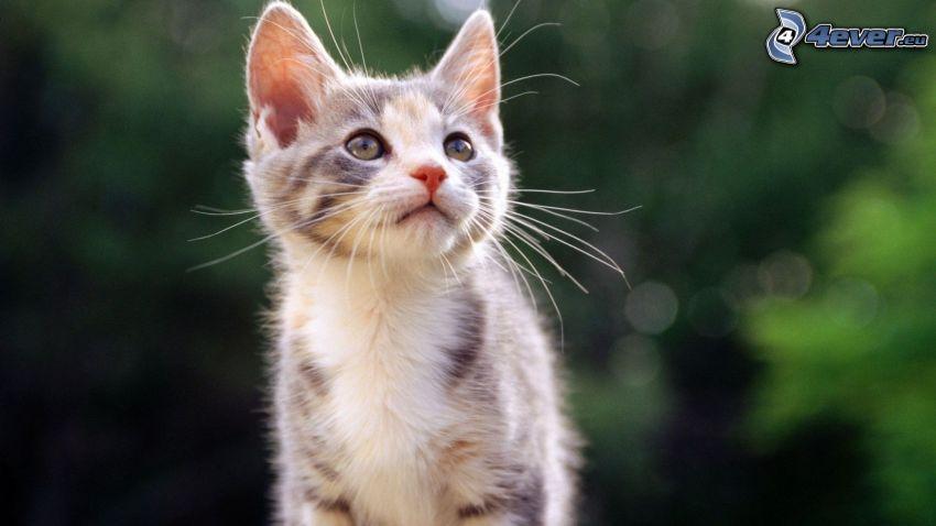 gattino macchiato