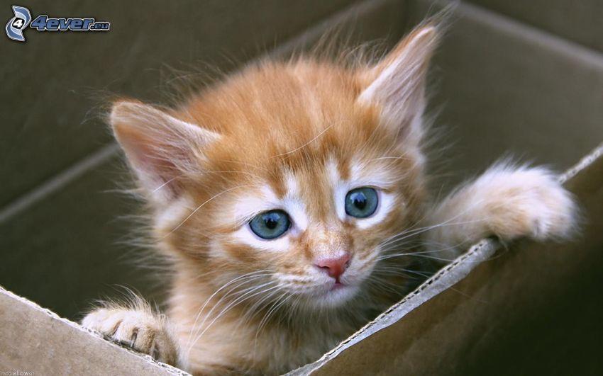 gattino marrone, scatola