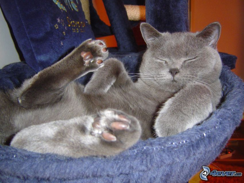 gatto addormentato, british shorthair