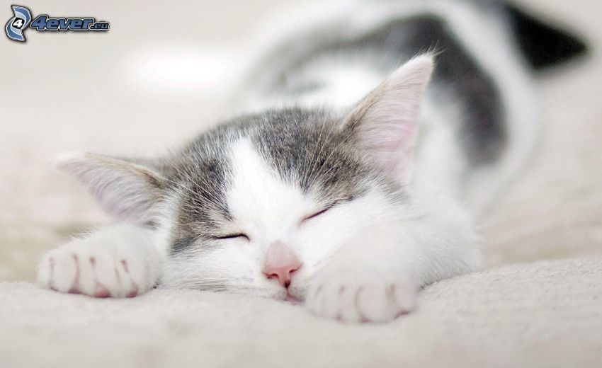 gatto addormentato, gatto bianco