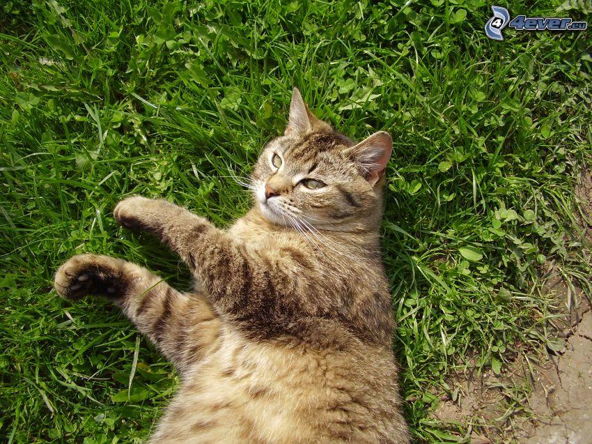 gatto che sull'erba, riposo