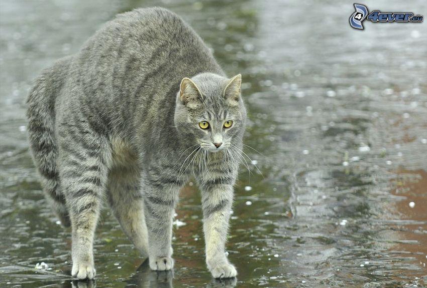 gatto grigio, ghiaccio