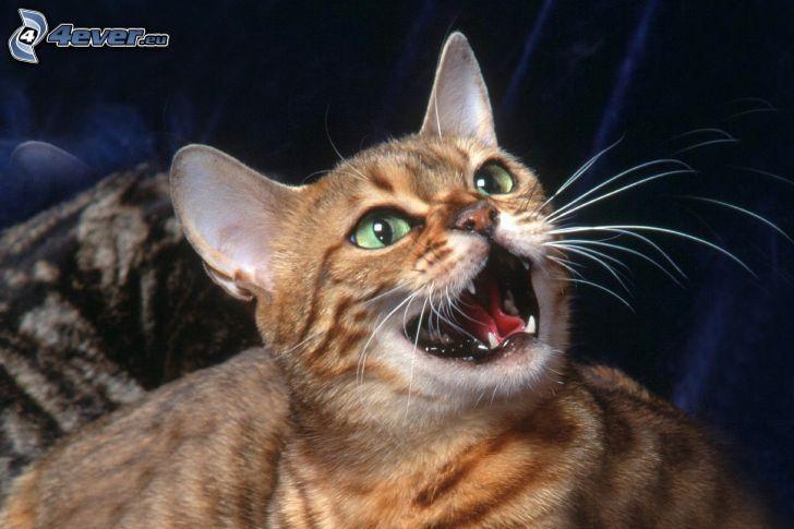gatto marrone, urlo