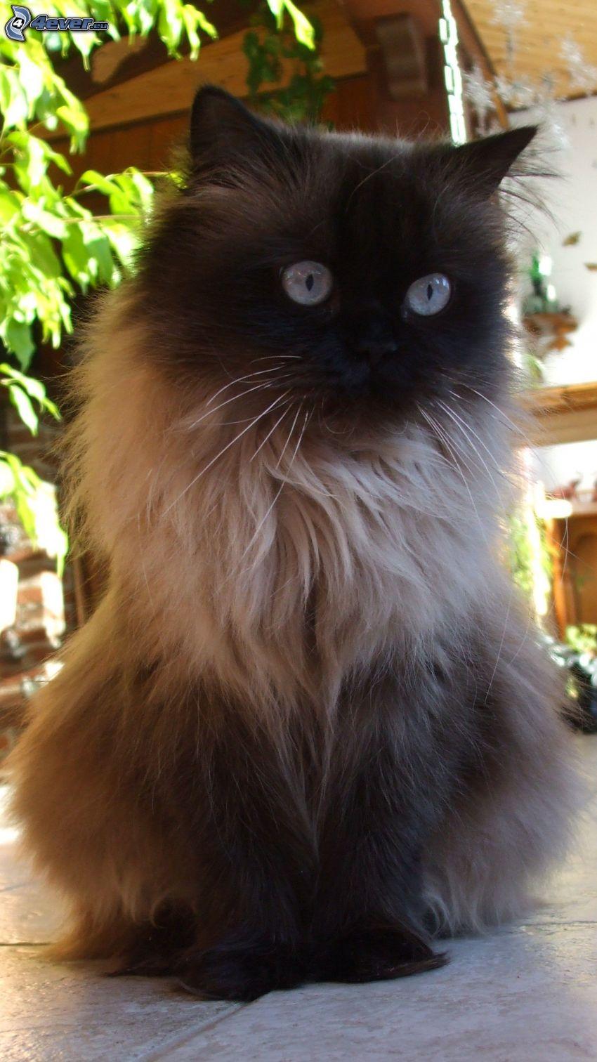gatto marrone
