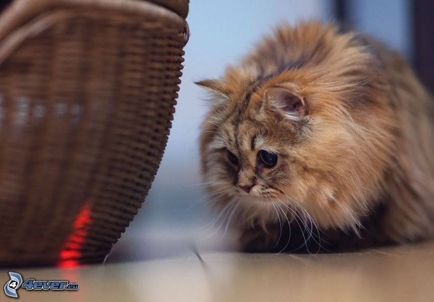gatto peloso, cesto