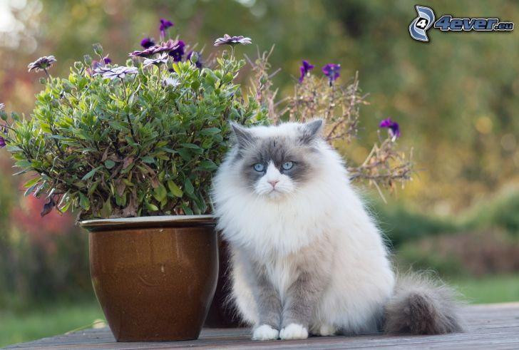 gatto peloso, fiori viola, pentola
