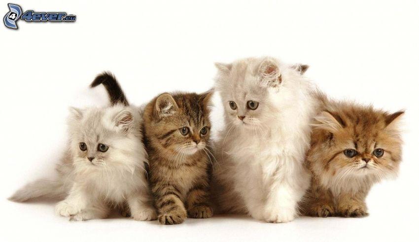 gatto persiano, gattini