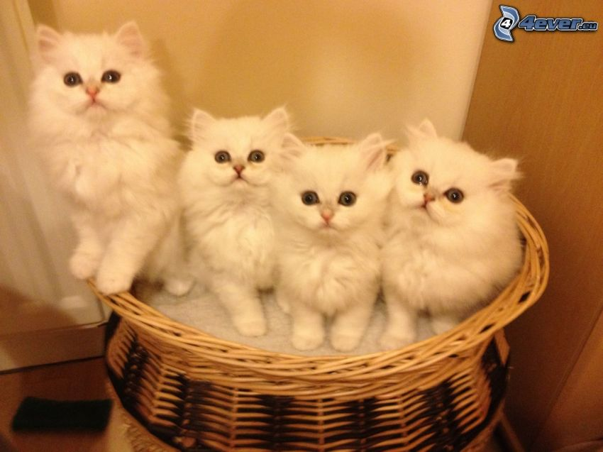 gatto persiano, gattini in un cesto