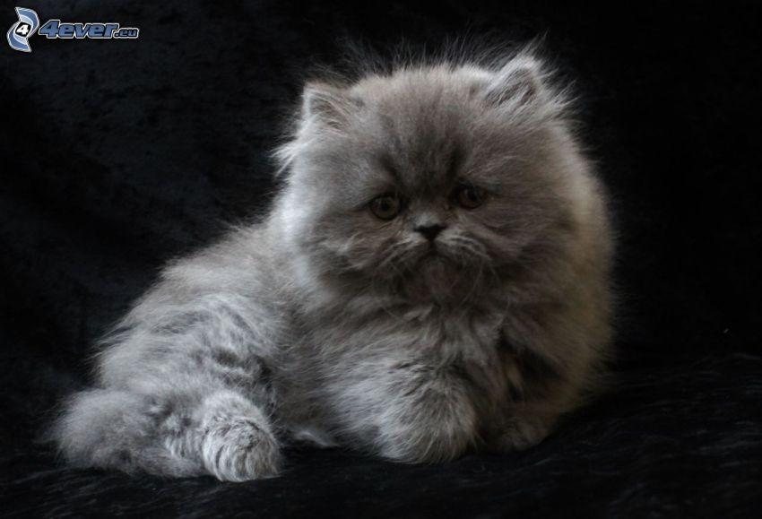 gatto persiano, gattino grigio