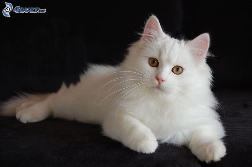 gatto persiano, gatto bianco