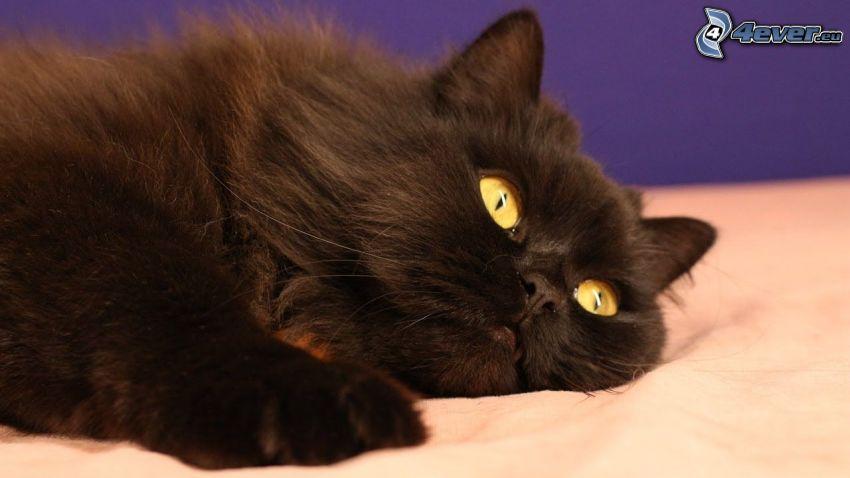 gatto persiano, gatto nero