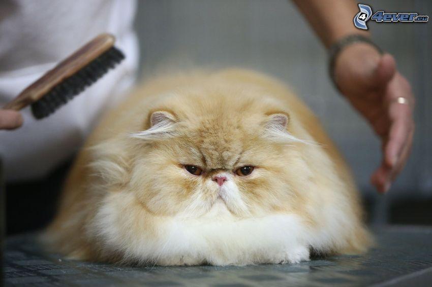 gatto persiano, pennello, mani