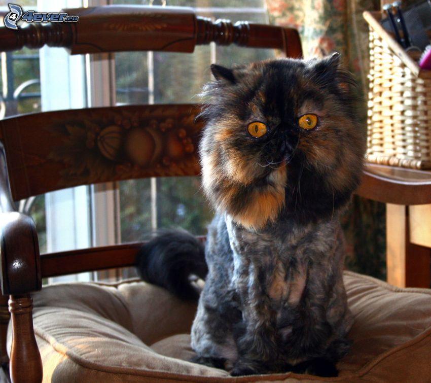 gatto persiano, sedia