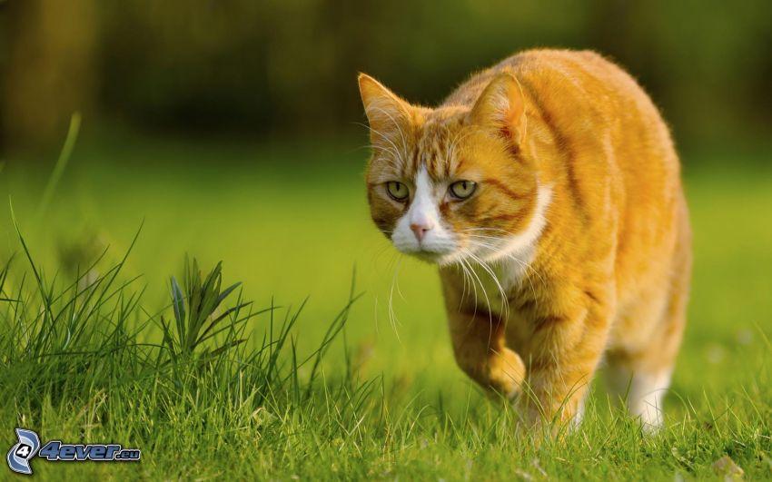 gatto rosso, l'erba