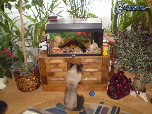 gatto siamese, acquario, pesci, soggiorno