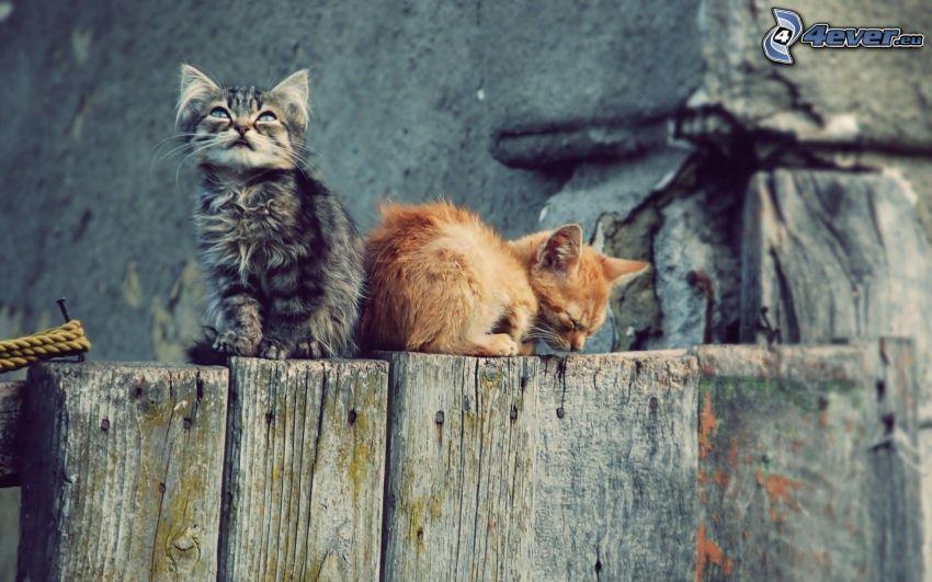 gatto sulla rete fissa, gattini, vecchio recinto di legno
