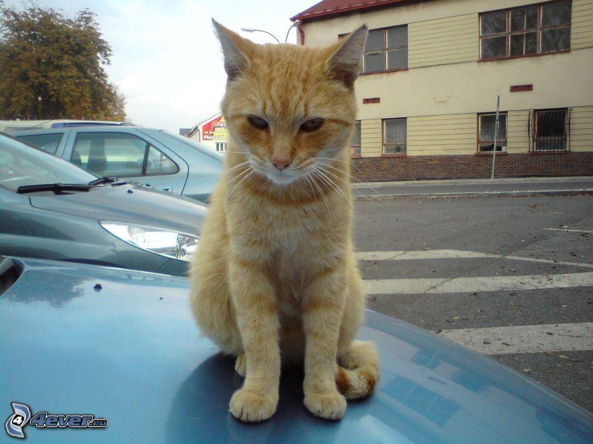 micio, gatto rosso, cofano