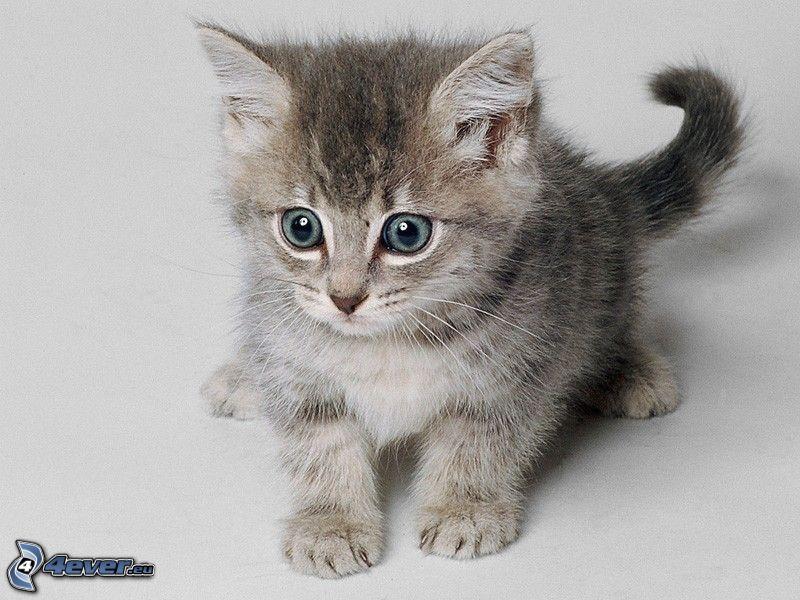 piccolo gattino grigio, occhi grandi