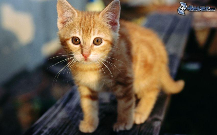 piccolo gattino rosso