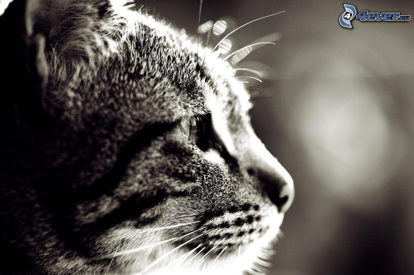 testa di gatto, foto in bianco e nero