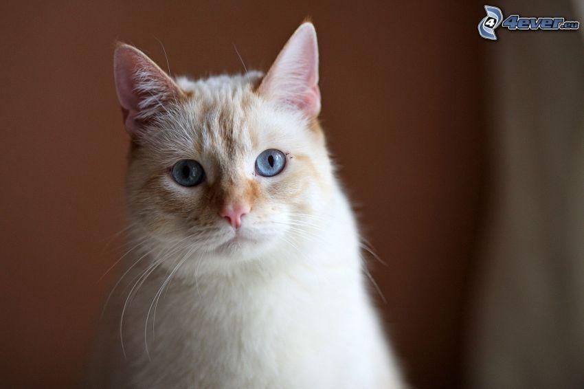 testa di gatto, occhi azzurri