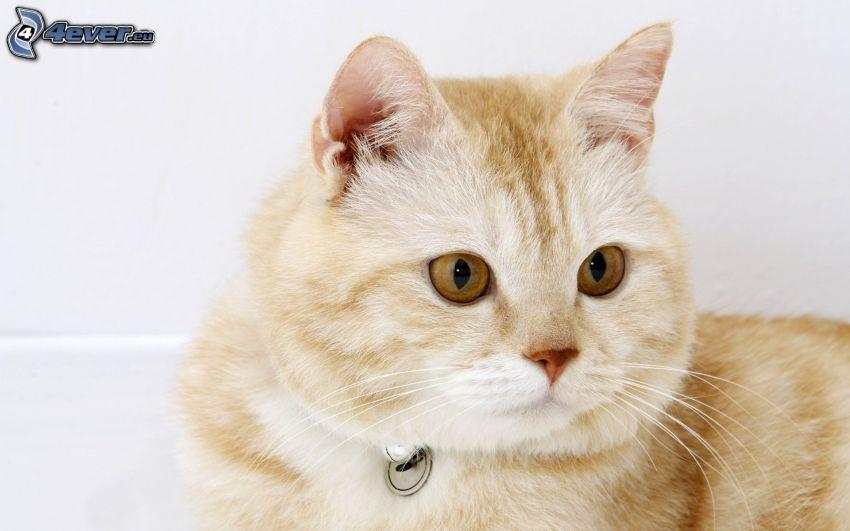 testa di gatto