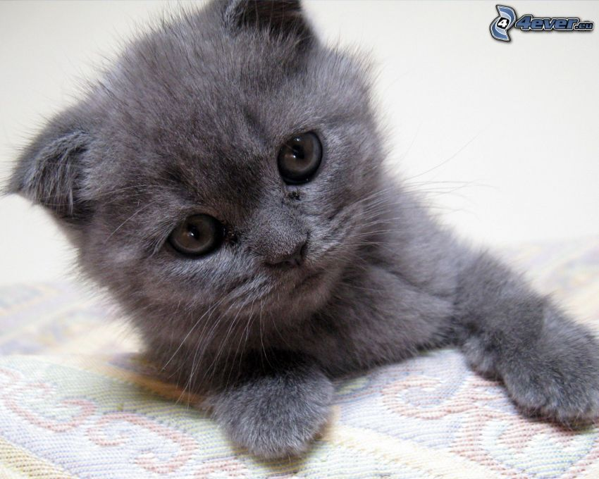 un piccolo gatto nero, british shorthair