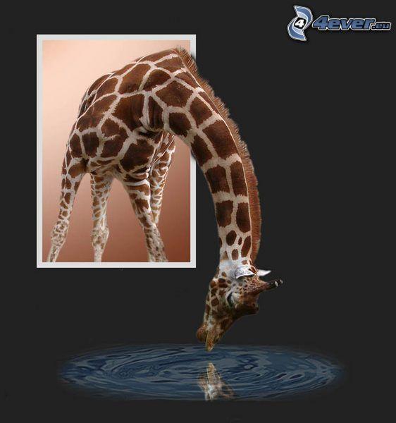 giraffa nella finestra, cucciolo