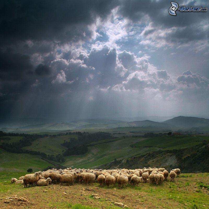 gregge di pecore, nuvole, raggi del sole, boschi e prati