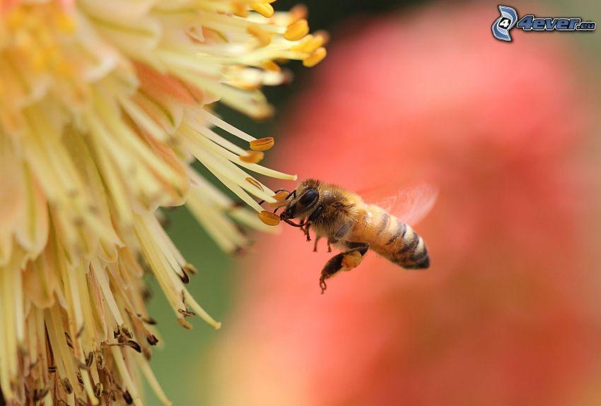 ape, fiore