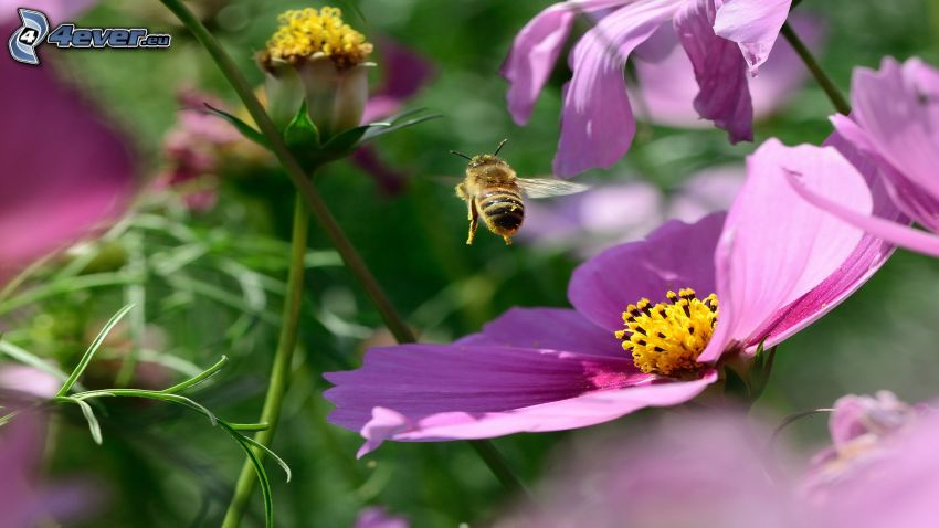 ape, fiori viola
