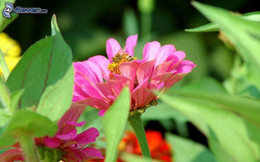 Ape sul fiore, fiore rosa