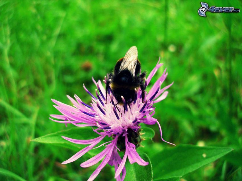 Ape sul fiore, fiore viola