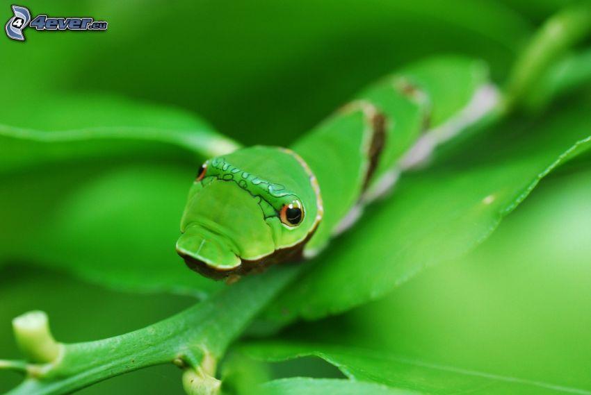 bruco verde