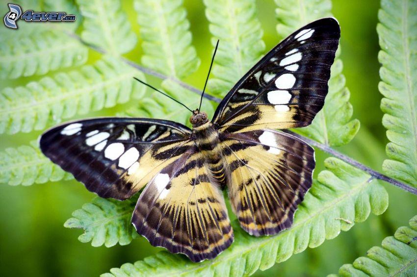 farfalla, felci, macro