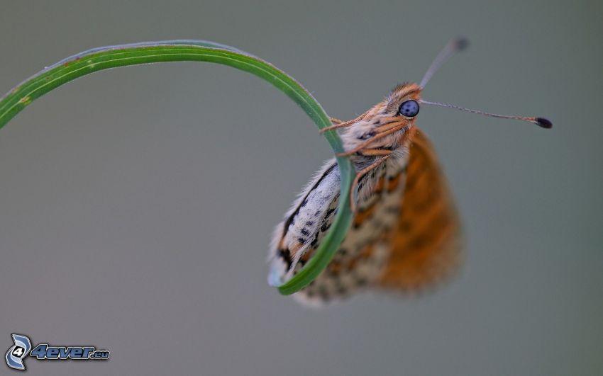 farfalla, festuca