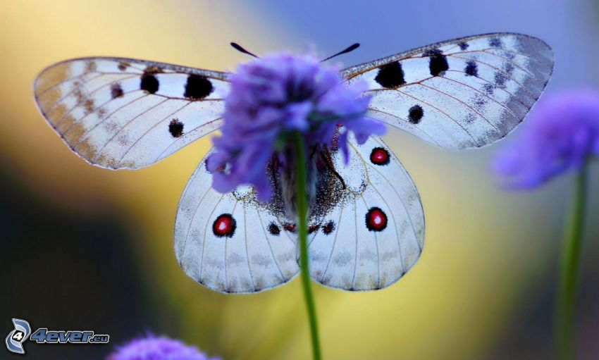 farfalla, fiore azzurro