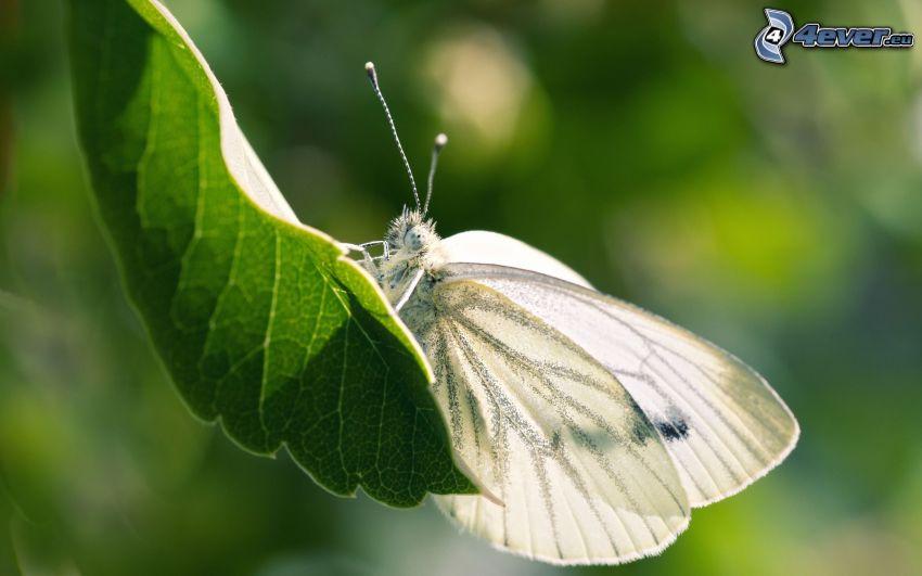 farfalla, foglia