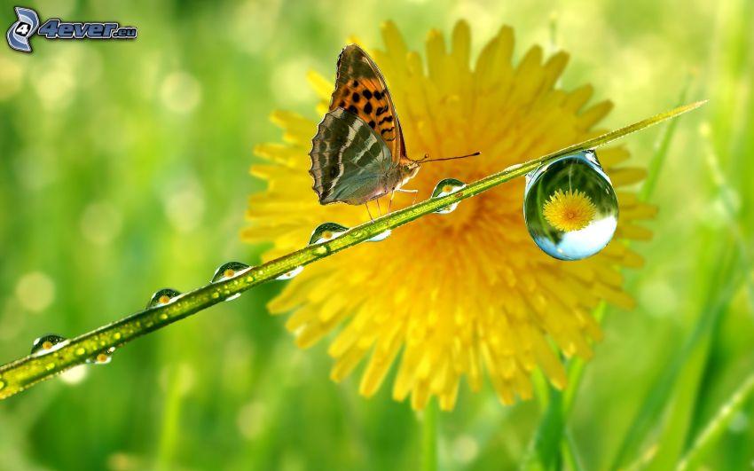 farfalla, gocce d'acqua, dente di leone
