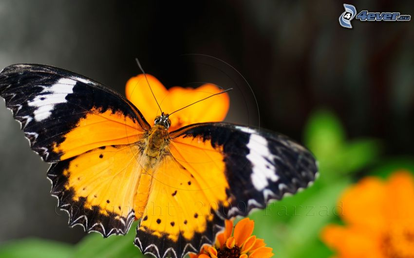 farfalla, macro